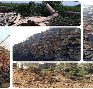قطع الأشجار في مصر